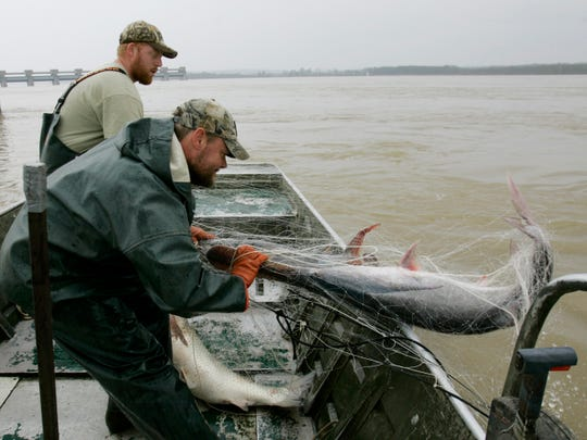 Charlie Hopkins brings an American paddlefish into his boat as Vincent Halligan pulls the net up on the Ohio River at Smithland, Ky., Tuesday, April 8, 2008.