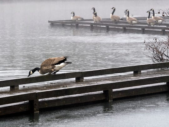 Geese prepare to jump into the water as rain pours down over Evansville's Howell Wetlands, Friday morning, Jan. 10, 2020.  The National Weather Service issued a flood watch for the Evansville area until Saturday afternoon, Jan. 11.