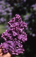 This elegant purple lilac enhances the May landscape.