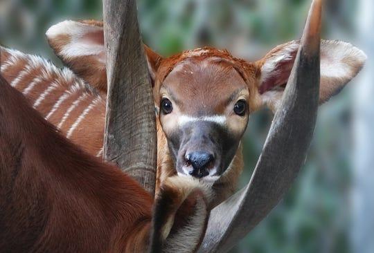 A critically endangered Eastern bongo calf was born at the Naples Zoo at Caribbean Gardens on Dec. 30, 2019.
