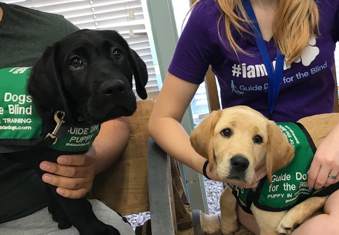 New Mexico State University students in the NMSU Community Puppy Raisers club raised Shuttle, left, and Koi, right, training them in basic obedience and good behavior for about 14 months in preparation for guide-dog school. The two dogs are now working as certified guide dogs.