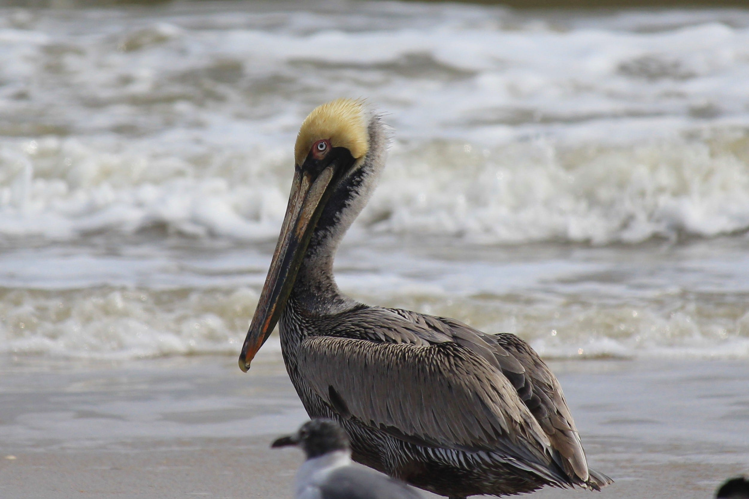Brown Pelicans Are Gregarious Birds With A Distinctive Look