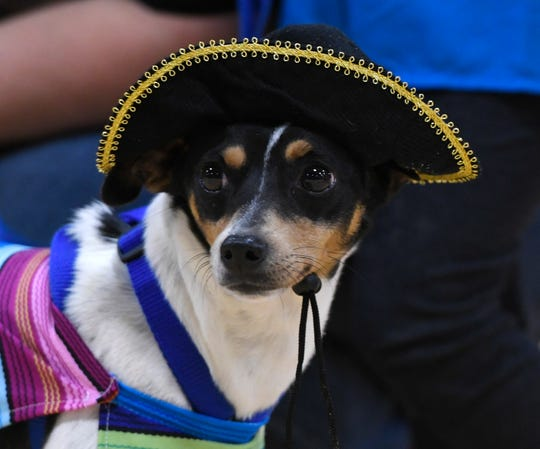 Sparkles sits in her costume during the dog show, Saturday, Jan. 11, 2020, in Robstown. Sparkles did not place in the competition.