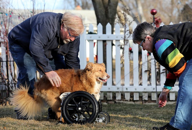 Pete and Pat Sammataro help their 4-year-old Australian shepherd mix, Louie, who was born without his two front legs, with his cart that was designed by UW-Madison engineering students, in the front yard of their home in Madison, Wis., on Dec. 27, 2019.