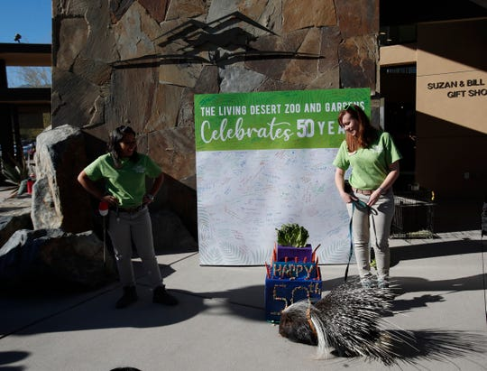 The Living Desert Zoo and Gardens celebrated its 50th anniversary on January 11, 2020. In this photo a porcupine of the zoo eats food from a prop.