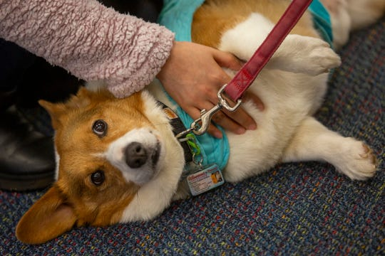 Tucker the therapy dog receives a belly rub at the Salem Public Library on Jan. 11, 2020.