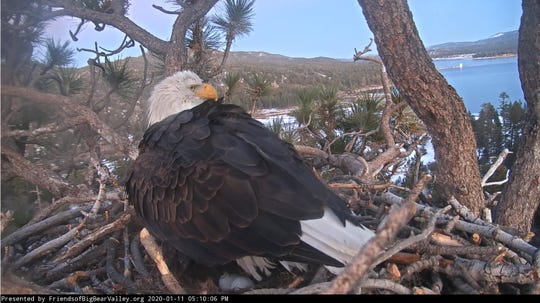 Jackie the bald eagle laid her second egg this week in a nest near Big Bear Lake, as seen in a webcam still on Jan. 11, 2020.