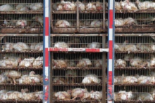 In this Thursday, Aug. 8, 2019, file photo, chickens are shipped for processing in Morton, Miss. The use of antimicrobial washes and sprays is widespread in the U.S. chicken industry, with companies applying them to kill germs at various stages in the production process. The practice highlights concerns that Britain could be pressured to accept looser food safety standards when negotiating post-Brexit trade deals.