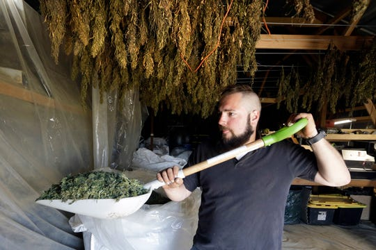 Trevor Eubanks, plant manager for Big Top Farms, shovels dried hemp in April 2018 as branches hang drying in barn rafters overhead at their production facility near Sisters, Ore.