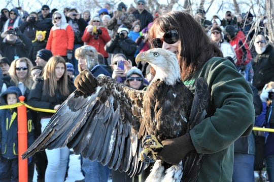 Watch the live release of rehabilitated bald eagles at the Bald Eagle Watching Days in the Sauk Prairie area.