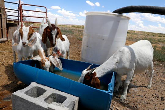 Goats drink fresh water on Aug. 11, 2015 after equipment operators from the Shiprock Chapter house delivered water to the residence in Shiprock.