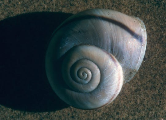 A recently deceased desert snail can be identified in our area by the original color base of a tan, almost pinkish flesh tone. Inevitably, there is also a dark purplish stripe accenting the uncoiling shell.