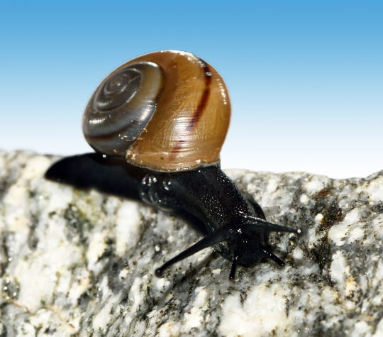 Desert snails are typically confined to microclimates in isolated mountain ranges.