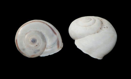 Desert snail shells are often bleached white by the sun.