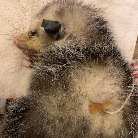 Scarlett is receiving medical treatment after a group said the baby opossum was beaten by a golf club.