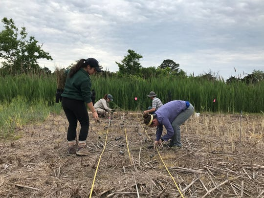 Researchers and graduate students plant salt-tolerant crops last spring on a farm outside Princess Anne, that is being affected by saltwater intrusion. The work is part of a study conducted by scientists with the University of Maryland, University of Delaware and George Washington University.