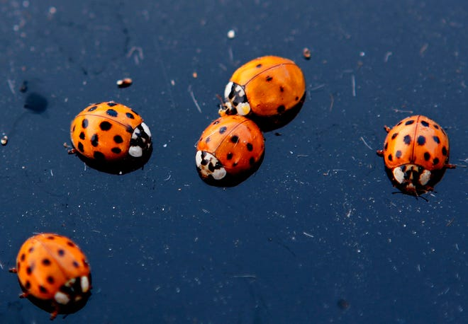 Ladybugs are seen on a car in Illinois in this 2009 Associated Press photo. In Missouri, Cox Branson had to temporarily close a surgical suite in early January 2020 due to the presence of ladybugs, who often go indoors in winter.