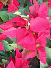 Poinsettias are good additions to Treasure Coast landscapes. Take them out of the pots, separate the plants and install where no light shines at night for pretty blooms next winter.