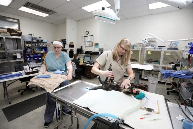 Registered vet tech Rebecca Hunt gets a cat ready for surgery at the Animal Shelter Society on Monday, while vet Katie Seiple lays out her equipment, left. The shelter has three veterinarians on contract, which is something new for the shelter.