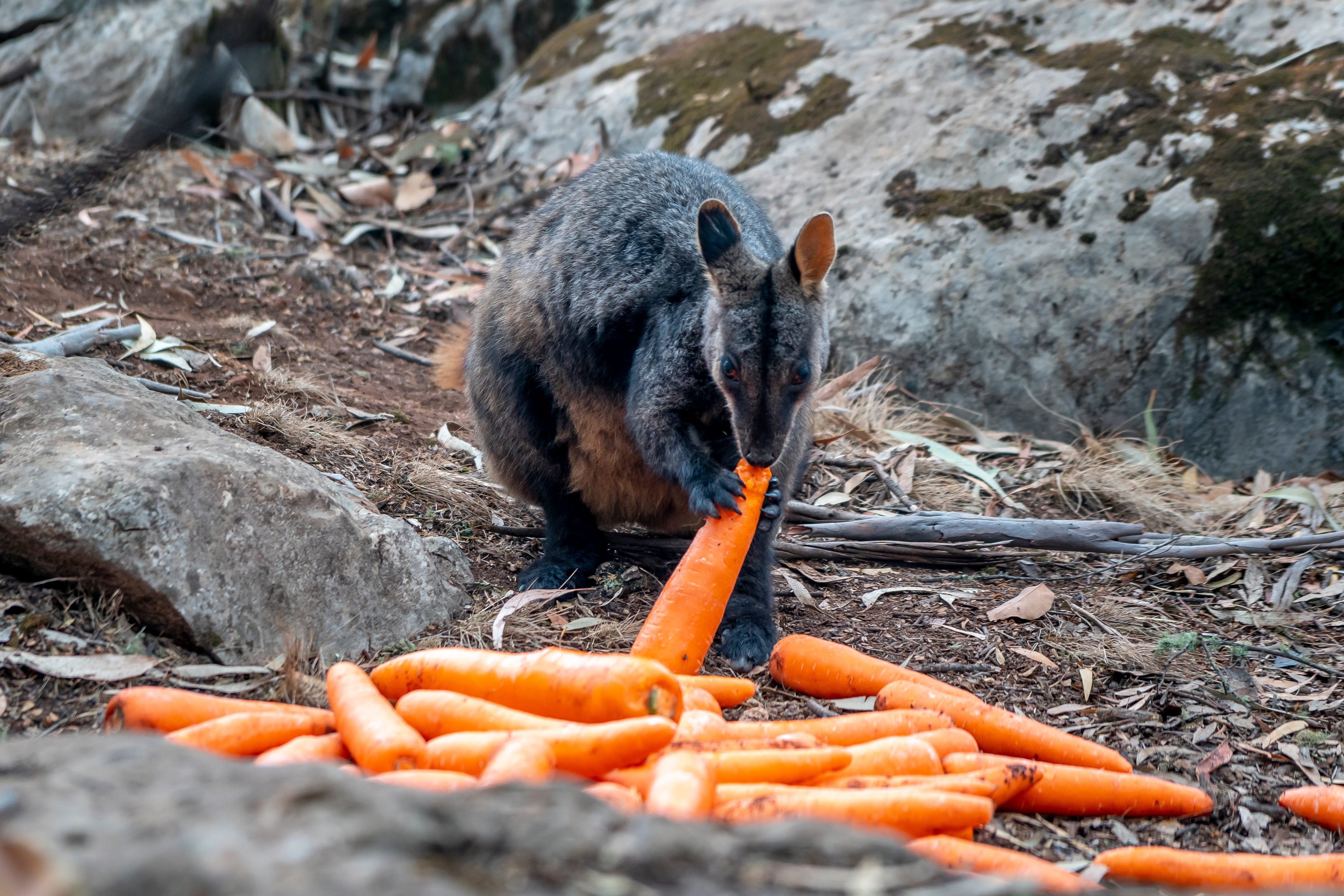 Carrots falling from the sky: Australia drops 4,600 pounds of food, water from helicopters to feed hungry wallabies