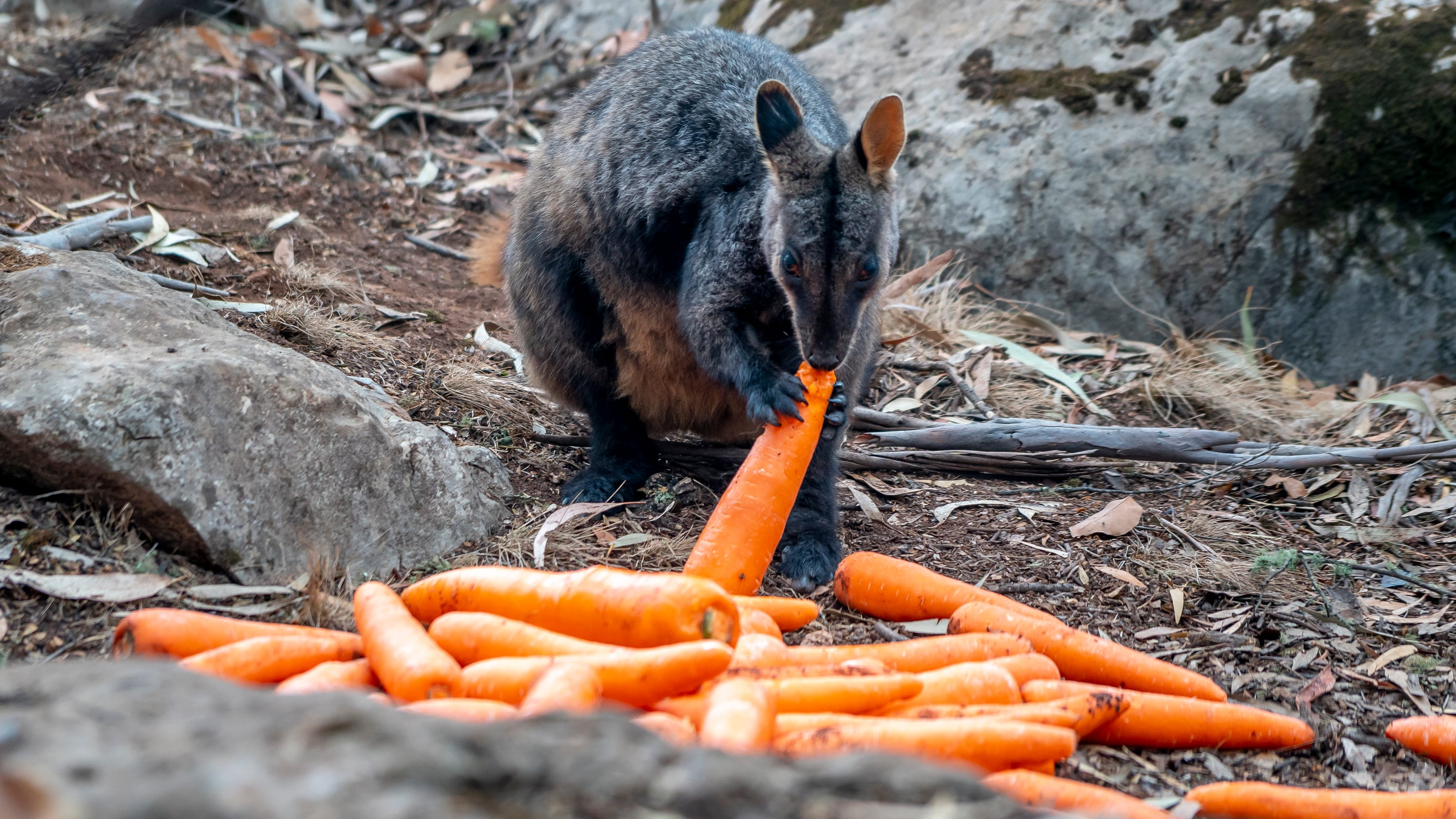 Carrots falling from the sky: Australia drops 4,600 kilos of food, water from helicopters to feed hungry wallabies thumbnail