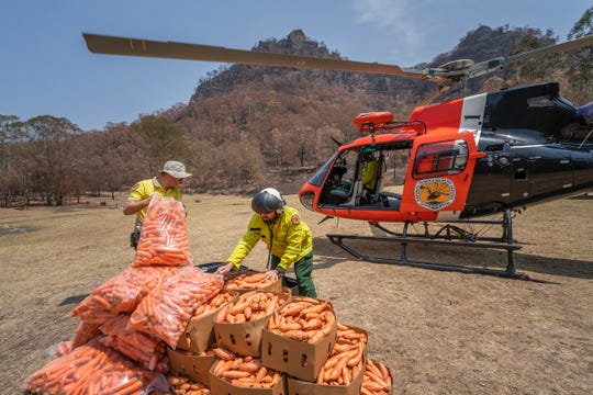 The NSW National Parks and Wildlife Service dropped thousands of pounds of carrots and sweet potatoes from helicopters to assist the Brush-tailed Rock-wallaby population.