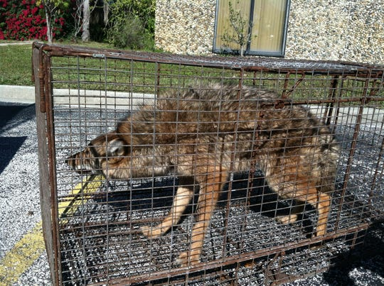 A coyote caught in Brevard County by wildlife trapper James Dean.
