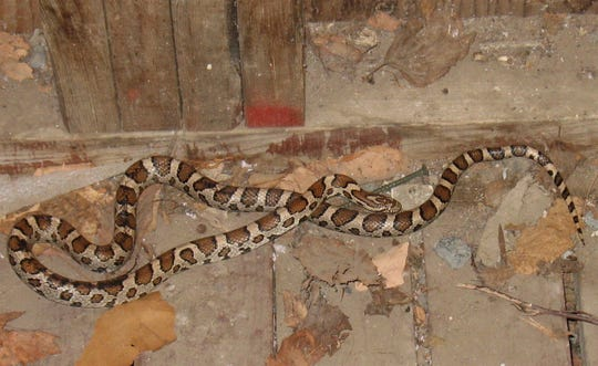 A photograph shared by The Vermont Reptile and Amphibian Atlas Project displays a Vermont Eastern Milksnake. The photograph was taken in Ripton, Vermont by a contributor to the Atlas Project.