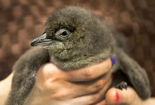 One of the little blue penguins born in early January. He/she is behind the scenes for now, but will be part of Zoo Babies in May and will join the rest of the growing penguin colony this summer when they move to the new Roo Valley.