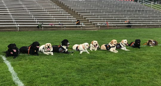 """Brighton Area Schools' therapy dogs — referred to as """"the pack"""" — hang out on an athletic field in the district. The district has therapy dogs at all eight of its schools, along with the Brighton Senior Center."""
