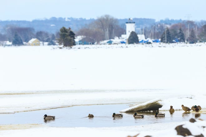 Mallard ducks swim in an area of open water Monday, January 13, 2020 near Lakeside Park in Fond du Lac, Wis. Warmer than normal temperatures has left Lake Winnebago with areas of thin ice and open water well into January.