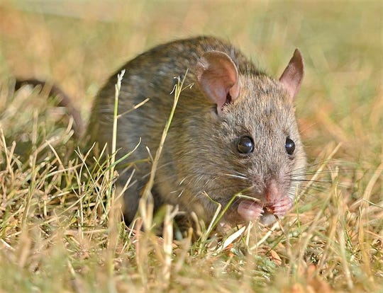 The Chinese Zodiac calendar celebrates 2020 as the Year of the Rat, which gives recognition to this Norway rat.