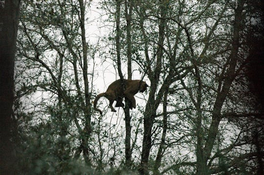 A Florida panther that Roy McBride and the capture team tracked down through the wilderness in January 2009 hangs in the treetops.