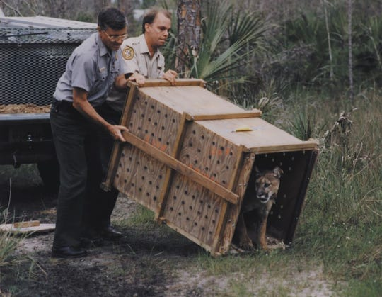 A Texas cougar is released into the Florida wilderness in 1995.