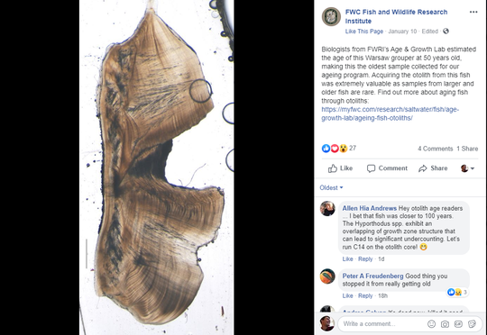A screen grab from Florida Fish and Wildlife Conservation Commission's Research Institute's Facebook page Jan. 10, 2020, shows an otolith drawn from a recently caught 350-pound Warsaw grouper. The otolith comes from the inner ear.