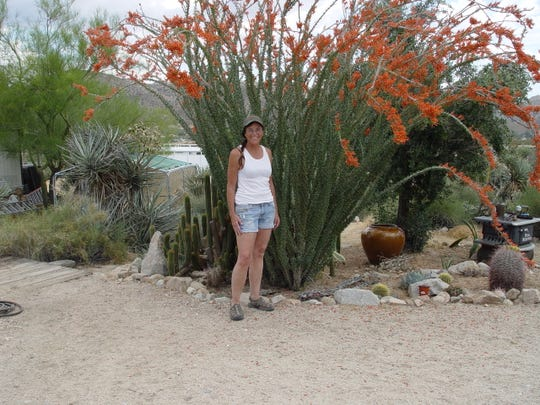 This is my largest ocotillo because it grows near the leach lines of my septic system.