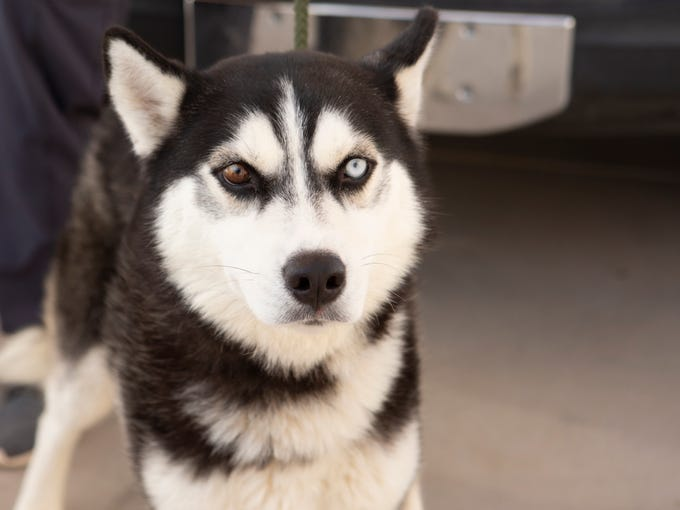 Bosa will be available on Sunday, Jan. 19 at noon at the Arizona Humane Society's Campus for Compassion, 1521 W. Dobbins Road in Phoenix. For more information, call 602-997-7585 and ask for animal number 626863.