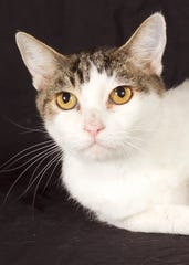Brûlée is available for adoption at 952 W. Melody Ave. in Gilbert. For more information, call 480-497-8296 or email fflcats@azfriends.org.