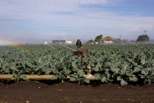 Un trabajador agrícola y residente de muchos años de Salinas camina por el plantío de brócoli a su cargo en Blanco Road.