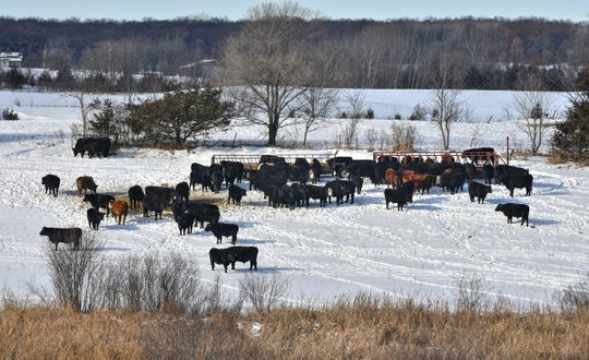 Cattle stand in one of several pastures used by Thousand Hills beef company Tuesday, Jan. 7, 2020, near Clearwater.