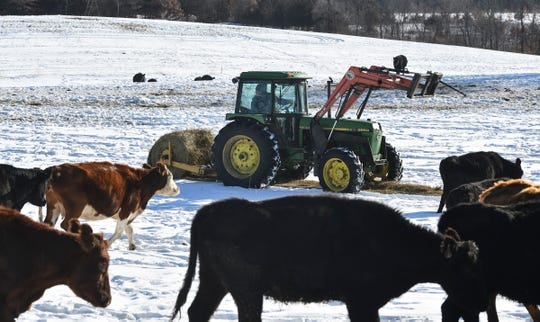 Thousand Hills owner Matt Maier feeds hay to cattle Tuesday, Jan. 7, 2019, at his farm near Clearwater.