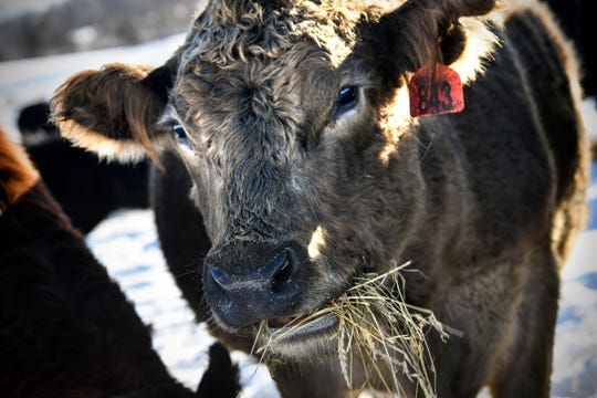 A cow munches on hay Tuesday, Jan. 7, 2020, at a Thousand Hills beef farm near Clearwater.