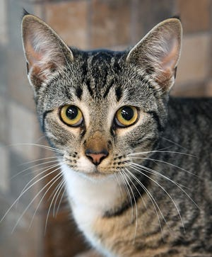 Spirit is an eight-month old, gray and white tabby, domestic short-haired cat. She is sweet, likes to cuddle and is available for adoption at the Wichita Falls Animal Services Center.