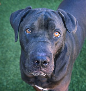 Choco is a two-year old, neutered, black, Sharpei/Labrador mix. He is smart, well-behaved and is available for adoption at the Wichita Falls Animal Services Center.