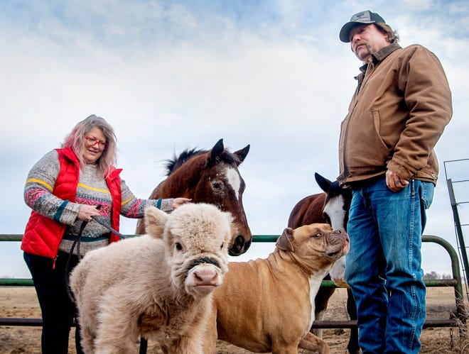 Kevin Lewis and his wife, Toni, were alerted by their horses, Sunday and Poncho, of a premature Scottish Highland calf, that was found barely alive in the pasture of their Nebraska farm around Thanksgiving. After close call, Patty Jo acts more like puppy than a cow.