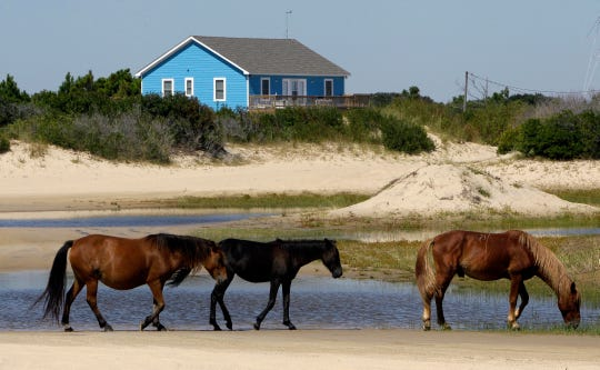 "Temperatures in the 60s and 70s across the Carolinas have the wild horses acting ""more like it's June, not January,"" the Corolla Wild Horse Fund said in a message posted to social media on Sunday."