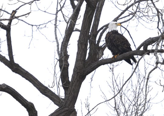 A bald eagle is perched in a tall tree overlooking the Fox River on Jan. 15 in Appleton.