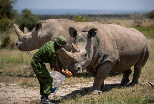 Female northern white rhinos Fatu, 19, right, and Najin, 30, left, the last two northern white rhinos on the planet, are fed some carrots by a ranger in August 2019 in their enclosure at Ol Pejeta Conservancy, Kenya. Researchers said Wednesday, Jan. 15, 2020 that they have successfully created another embryo of the nearly extinct northern white rhino, just the third to be created in a lab with eggs taken from the females and inseminated with frozen sperm from dead males.