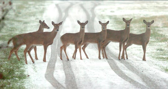 In this Feb. 1, 2007 file photo, one day after hunting season closed, whitetail deer cross a snow covered driveway in Monrovia, Ala..