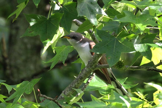 """Yellow-billed cuckoos, birds that come here from central South America to breed, tend to sit quietly amid dense foliage, calling their haunting """"cloke-cloke-cloke"""" song that earned them their """"rain crow"""" moniker."""